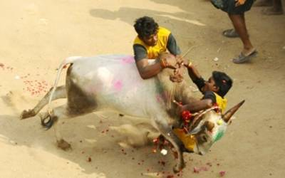 Making a case for Jallikattu