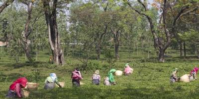 Tea production down 9.5% in May, exports up 4%