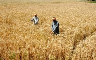 Wheat procurement exceeds target for 2018-19
